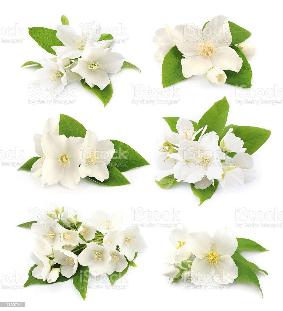 Set of  jasmine stock photo
