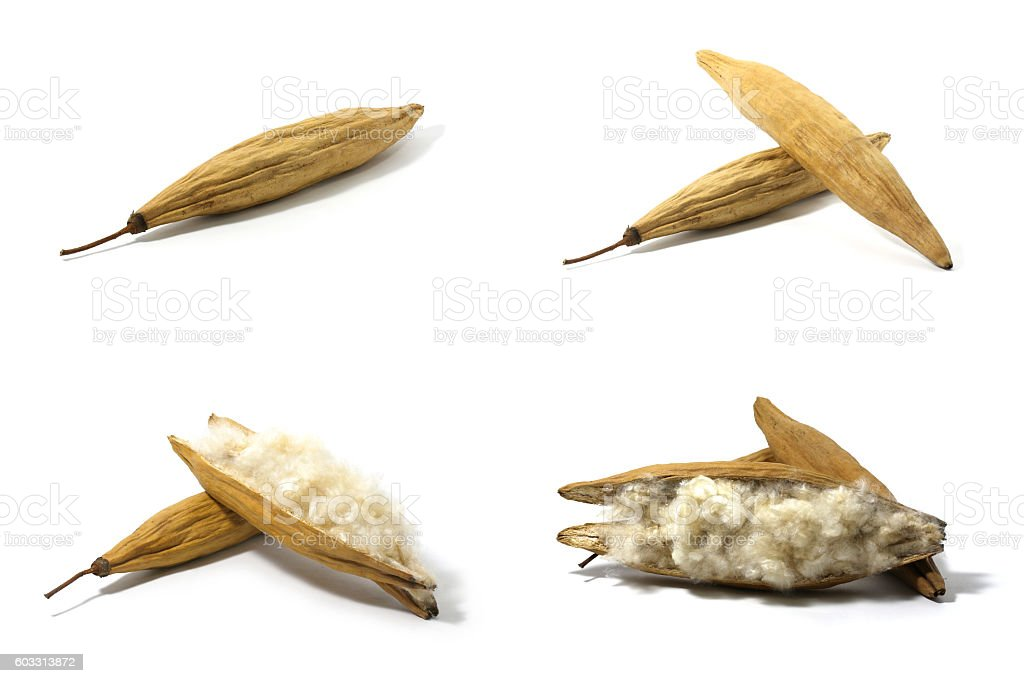 Set of Kapok,  White silk cotton tree stock photo