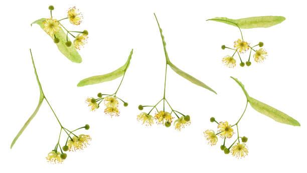 一套林登花被隔絕。林登花綻放與葉子和花瓣查出在白色背景。 - 在開花 個照片及圖片檔