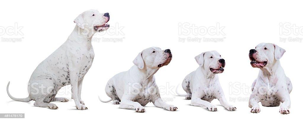 Set of lying Dogo Argentino stock photo