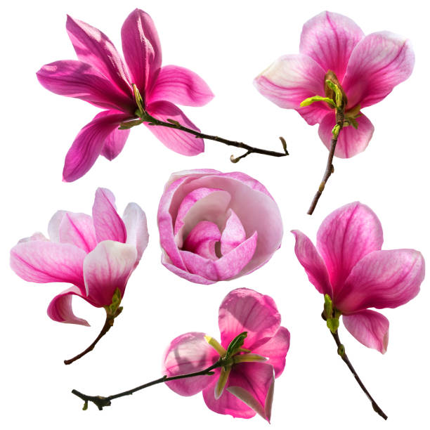 set of magnolia flower blossom isolated on white background. greeting card template - magnolia стоковые фото и изображения