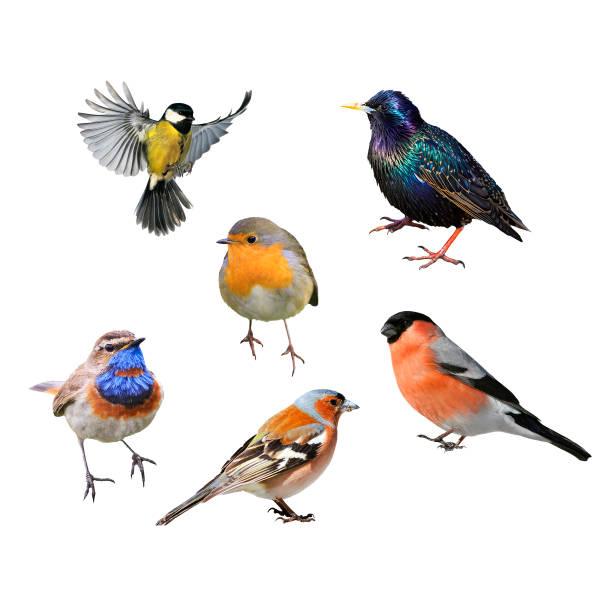 set med många fåglar av europeiska delen på vit isolerade bakgrund - pippi bildbanksfoton och bilder