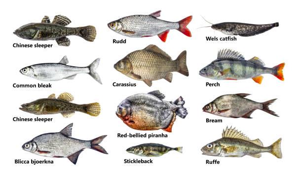 ensemble de nombreux poissons différents, isolés, collection - organisme vivant photos et images de collection