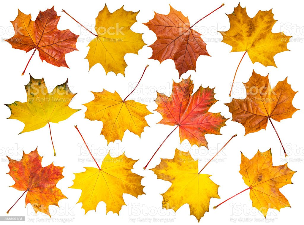 Set of maple leaves on white background Set of isolated multicolored maple leaves on white background. 2015 Stock Photo