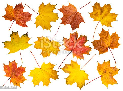 istock Set of maple leaves on white background 488599428