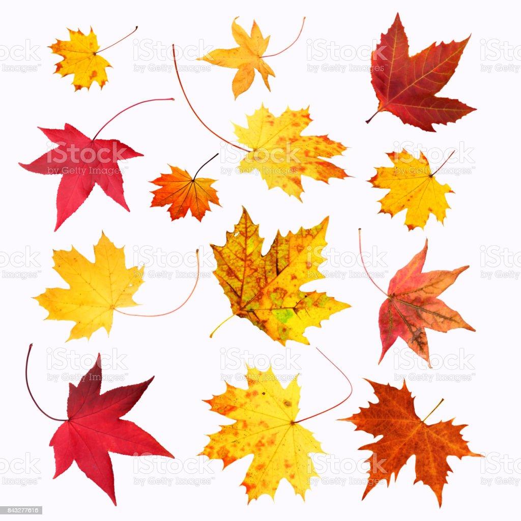 Ensemble de feuilles d'érable sur fond blanc photo libre de droits