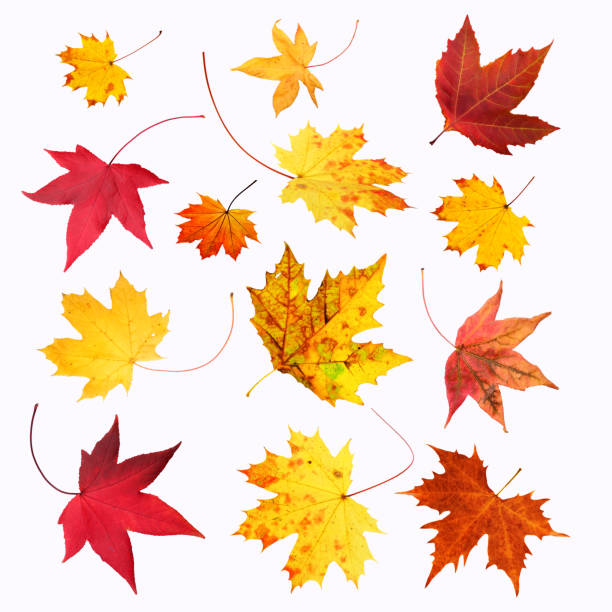set of maple leaves on white background - falling stock pictures, royalty-free photos & images