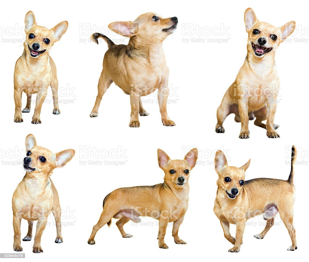 Set of Mini Toy Terriers, isolated stock photo