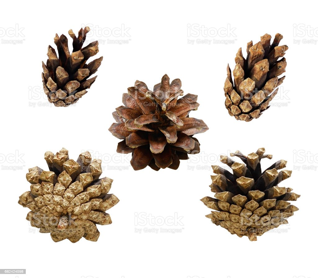 Set of pine cones royalty-free stock photo