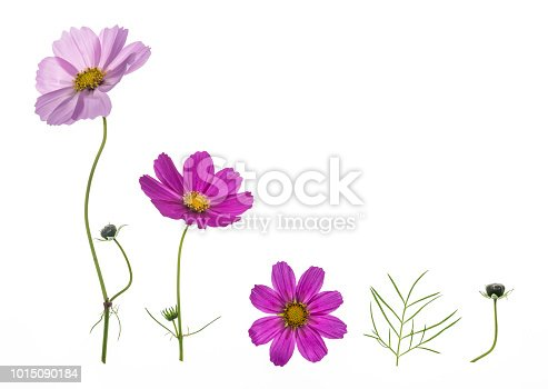 set of pink and purple cosmos flowers isolated on white background with copy space