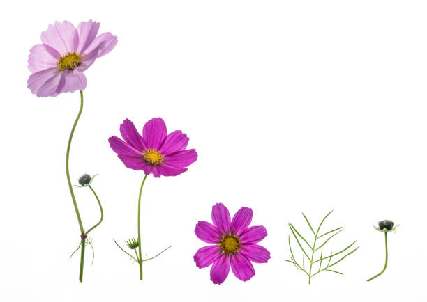 set of pink and purple cosmos flowers isolated on white background set of pink and purple cosmos flowers isolated on white background with copy space wildflower stock pictures, royalty-free photos & images