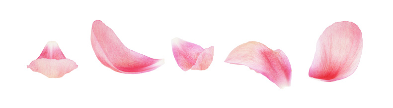istock Set of pink peony petals 1151180276