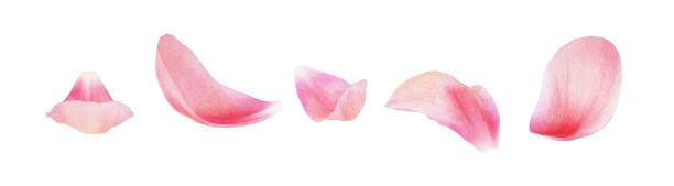 분홍색 모란 꽃잎 세트 - 꽃잎 뉴스 사진 이미지