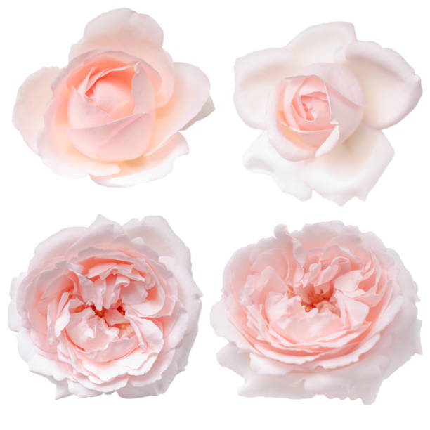 Set of pink rose buds isolated on the white background stock photo