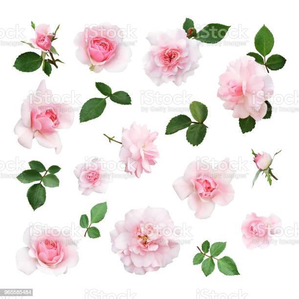 Set of pink rose flower and leaves picture id965585484?b=1&k=6&m=965585484&s=612x612&h=lmti1qzn4xtfqxvitgrlaqfzc8nrt7pm9wqyjnzgloo=