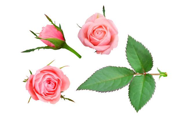 Set of pink roses picture id892115382?b=1&k=6&m=892115382&s=612x612&w=0&h=5wuxn57w0ec6zmbjxnefd9zeexeyfa3mpas3jdncnvi=
