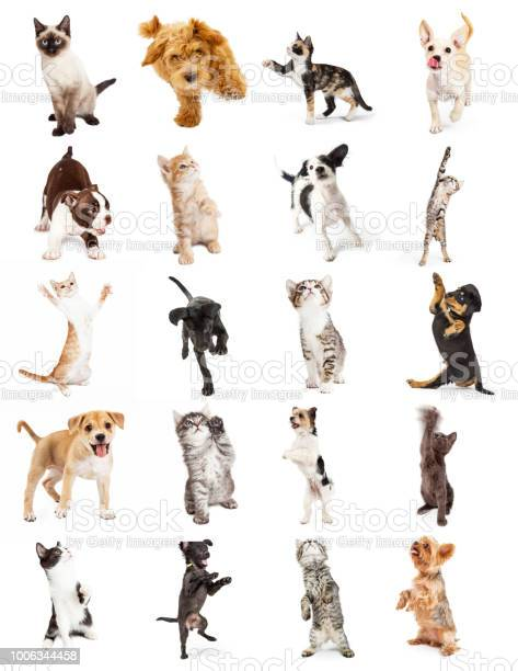 Set of playful puppy and kitten photos picture id1006344458?b=1&k=6&m=1006344458&s=612x612&h=wxwczjib9xlcoezx5ucd6vczsfoj9ilctzrcvx9y3rg=