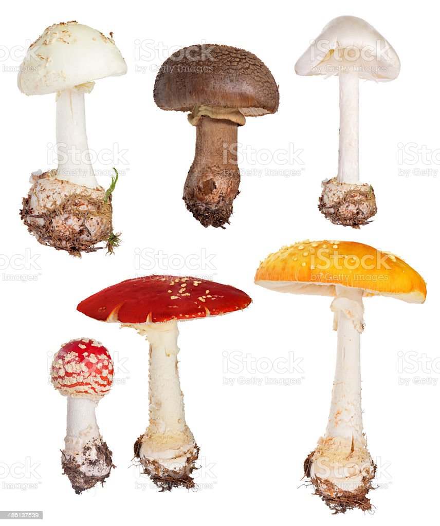 set of poisonous fly agaric mushrooms isolated on white stock photo