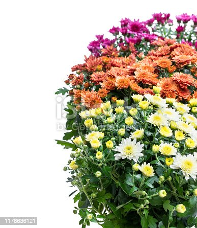 Set of  potted flowering chrysanthemums isolated on white