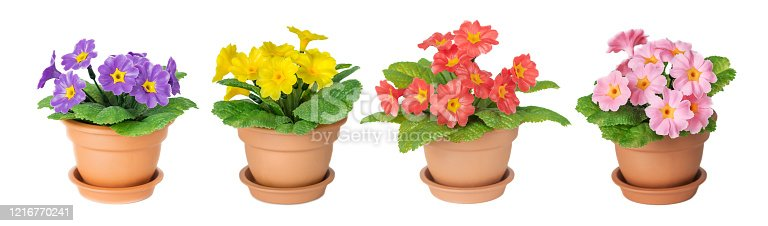 Set of artificial primrose houseplants with purple, red, pink and yellow flowers and green leaves in a ceramic  pots isolated on a white background