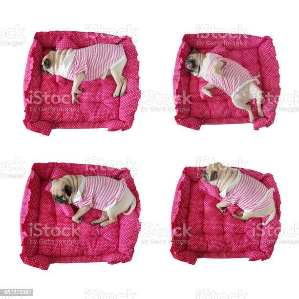 Set of puppy pug dog sleeping rest in her cot bed and pillow isolated picture id652523382?b=1&k=6&m=652523382&s=612x612&h=vs5ngtdlpatkwyyrxkyrobbh4 kr qffxgnxtqfch9m=