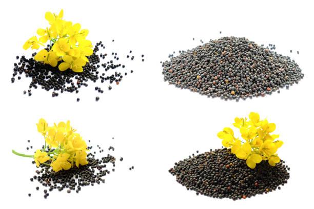 노란 꽃과 씨앗유채 식물의 집합입니다. 노란색 겨자 식물입니다. 흰색 배경에 고립 된 카놀라 씨앗과 신선한 카놀라 꽃을 설정합니다. 카놀라 꽃과 카놀라는 흰색에 고립. - 브라시카 라파 뉴스 사진 이미지