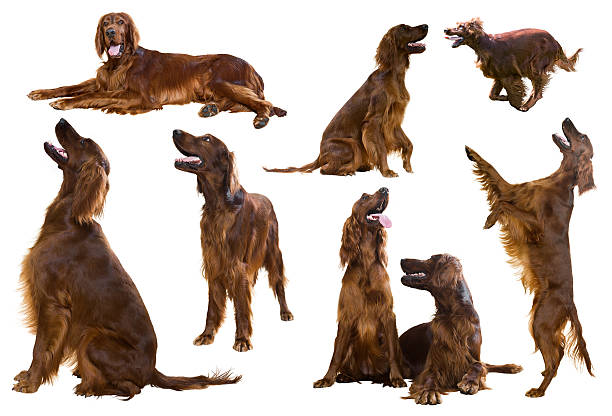 Set of Red Irish Setters Set of Red Irish Setters, isolated on white background irish setter stock pictures, royalty-free photos & images