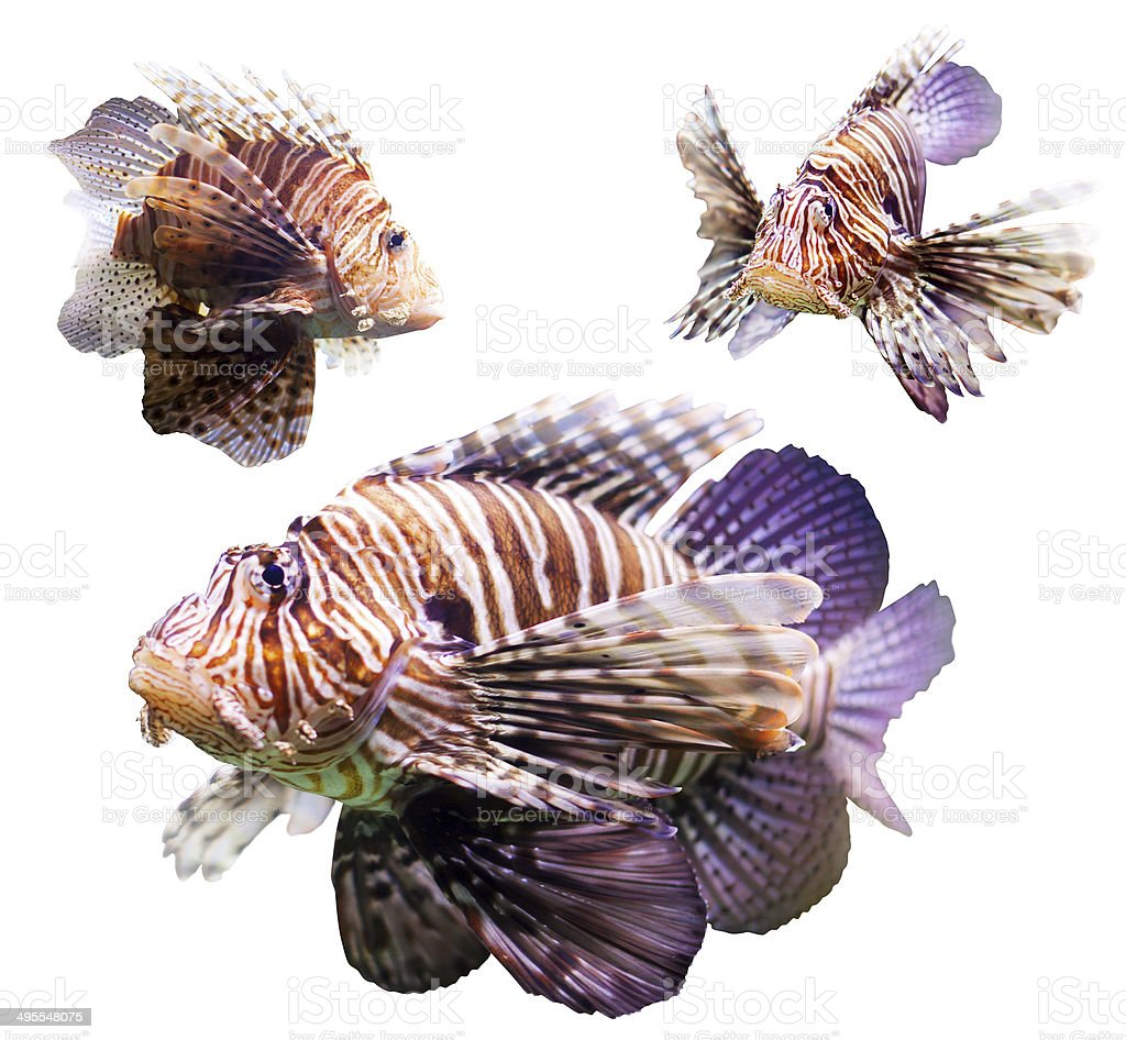 Set of  Red lionfish stock photo