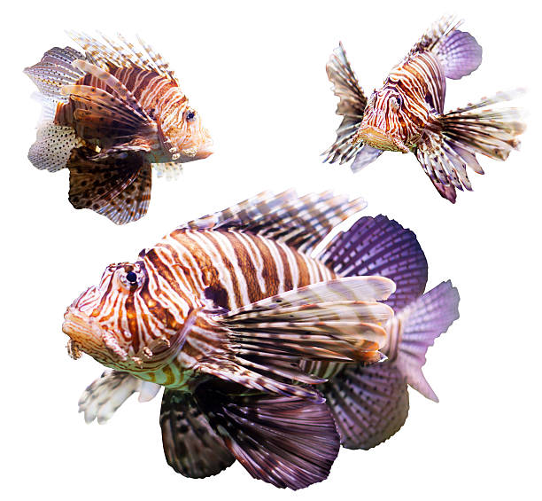 set of  red lionfish - lionfish stock photos and pictures