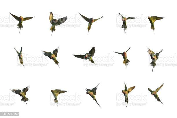 Set of redbreasted parakeet flying picture id901500152?b=1&k=6&m=901500152&s=612x612&h=3r6n07mqhhzq4rbqkwin3yf1ee7jdygmjzpujv7ds44=