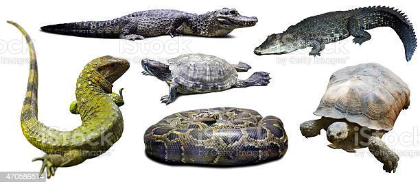 Set of reptilian isolated over white picture id470586514?b=1&k=6&m=470586514&s=612x612&h=l18xuqeno3kwv8g9sbmf9qifvvxlpdtmltipnll8 ea=
