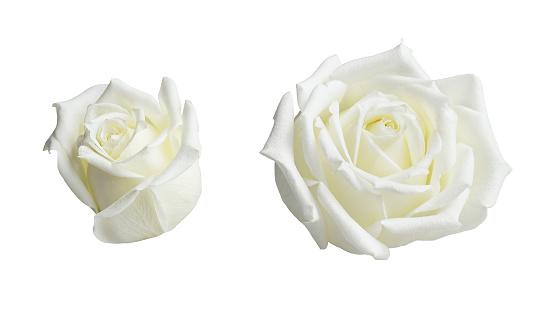 Set of rose flowers