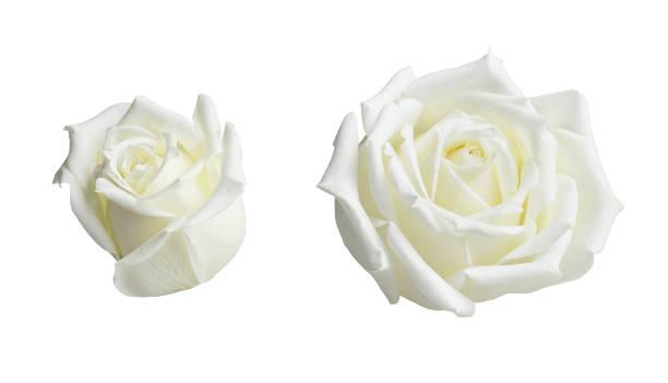 Set of rose flowers picture id1181262864?b=1&k=6&m=1181262864&s=612x612&w=0&h=8v31af7g1i5d0ckqqwqnwgi rtcaqcxnxdej ycw7p0=