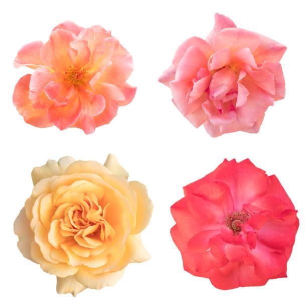 Set of rose photos pink and yellow isolated on white picture id658065948?b=1&k=6&m=658065948&s=612x612&w=0&h=agw6owfn1de lghbuvmmgdrv9aqkmud5gkrpg8efmx4=