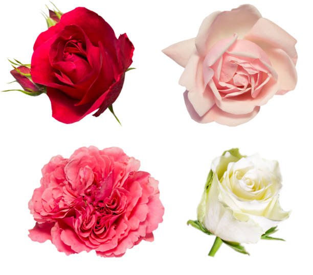 Set of roses flowers isolated on white picture id1089024838?b=1&k=6&m=1089024838&s=612x612&w=0&h=ldqscvwkzupxoixnnvufnev4com8m55fuyoqsd20i3w=