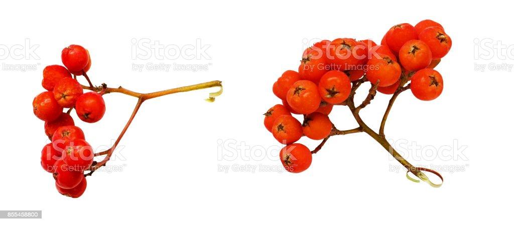 Set of rowanberries stock photo