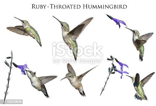 Set of six Ruby Throated Hummingbirds and Purple Salvia
