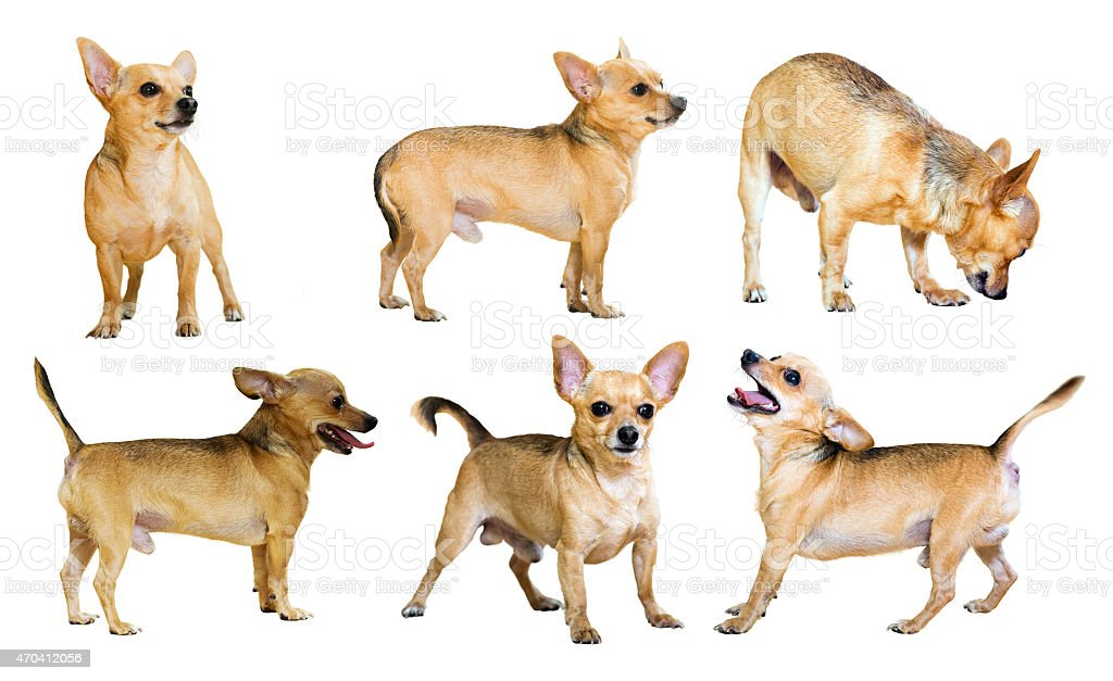 Set of  Russian Toy Terriers stock photo