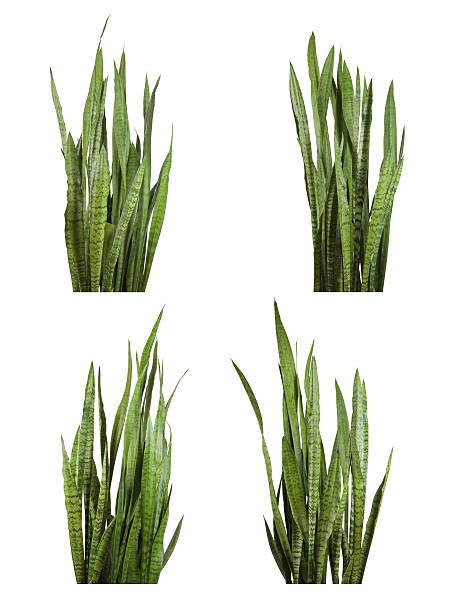 Set of Sansevieria trifasciata plant (snake plant) stock photo