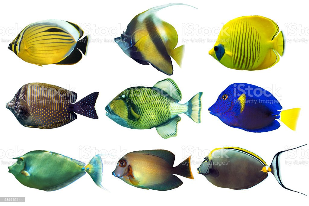 Set of sea nr.2- reef fish on white background stock photo