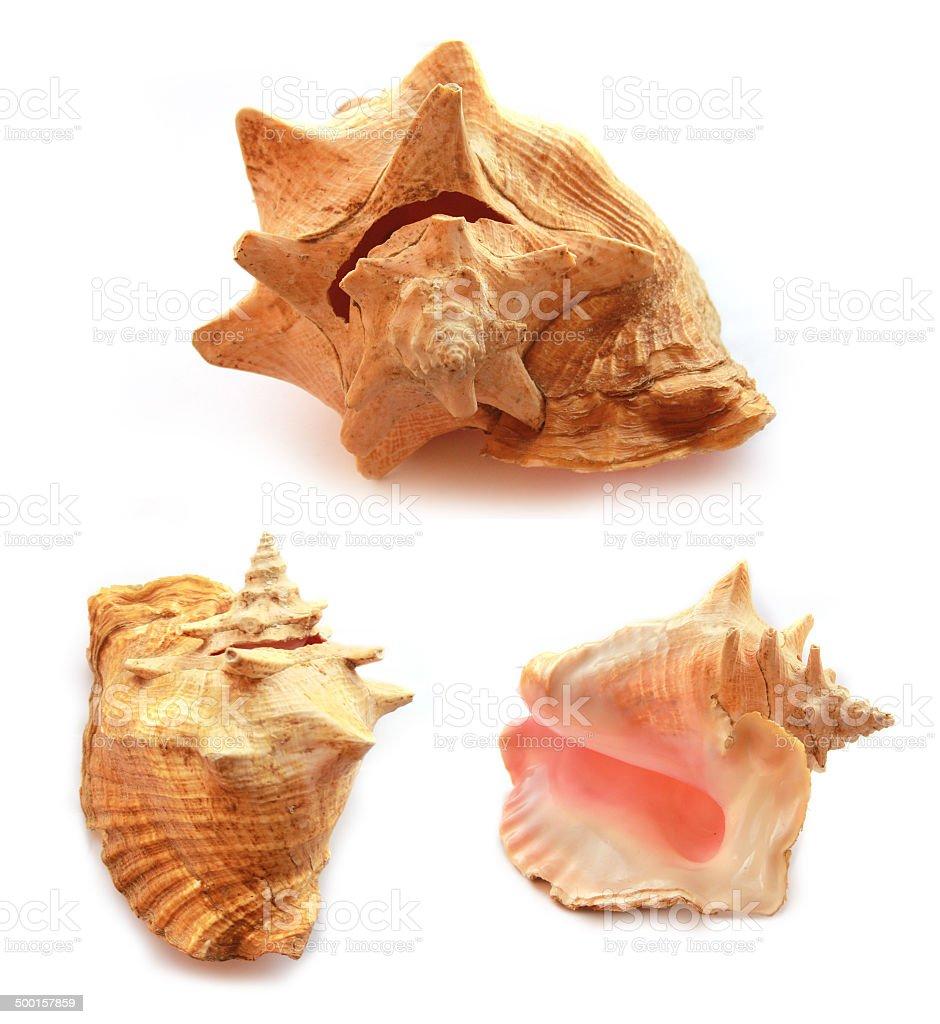 Set of sea shells isolated on white stock photo