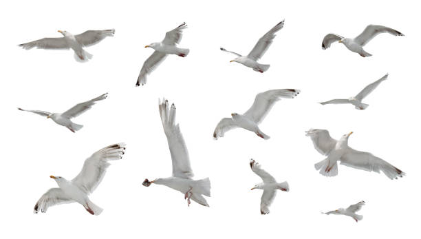 set of seaguls isolated on white background - uccello marino foto e immagini stock