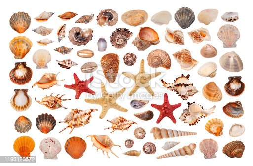 Clipart sea shells of different types  on white background