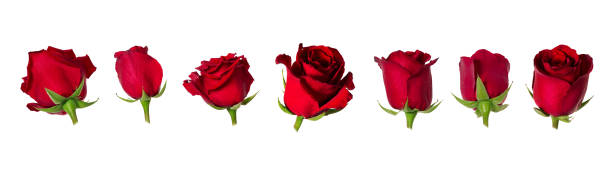 Set of seven beautiful red rose flowerheads with sepals isolated on picture id956461438?b=1&k=6&m=956461438&s=612x612&w=0&h=rxr3ez6 wif5iv5wbncwcq0zk0nurdkosnnh 9kp 7o=