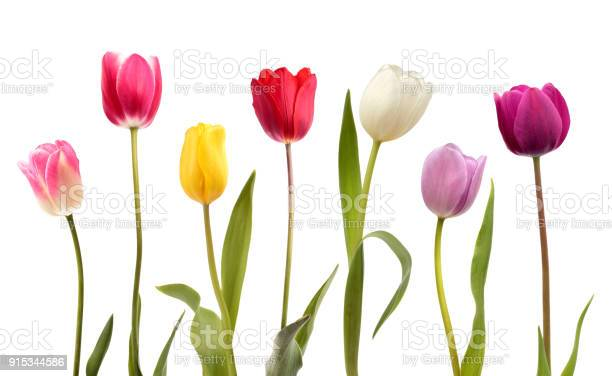Set of seven different color tulip flowers picture id915344586?b=1&k=6&m=915344586&s=612x612&h= 8ixdjv1qygkvecrrlqfkzc0ola qugf2bsgx4iaqp4=