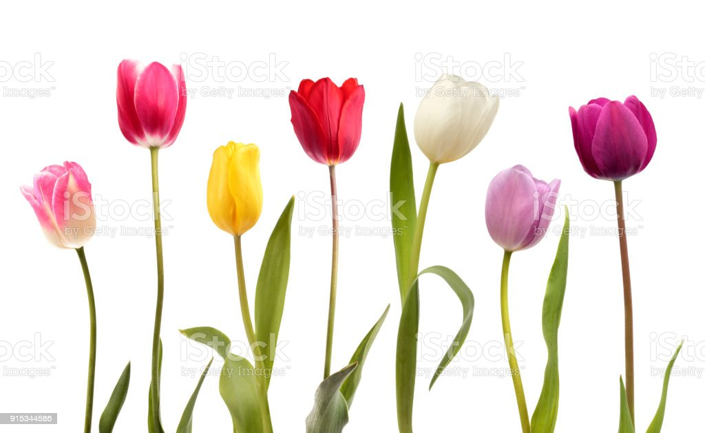 Set of seven different color tulip flowers stock photo