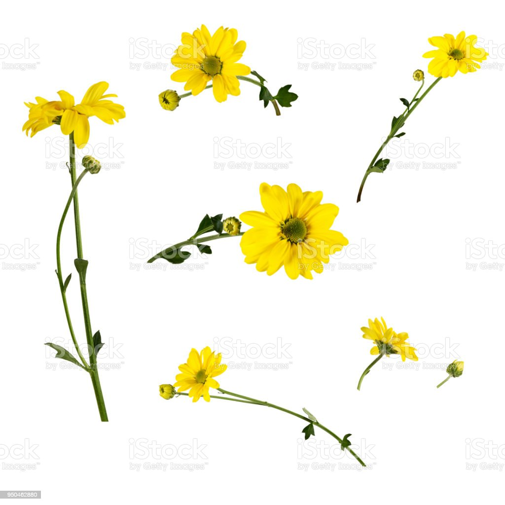 Set of several bright yellow chrysanthemums isolated on white background. stock photo