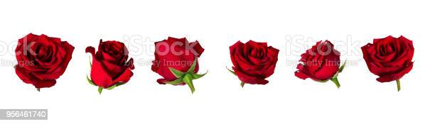 Set of six beautiful red rose flowerheads with sepals isolated on picture id956461740?b=1&k=6&m=956461740&s=612x612&h=jy08zy 5hnznjnz0j0nitrtvi6mxynumpq7akdibas8=