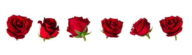 Set of six beautiful red rose flowerheads with sepals isolated on picture id956461740?b=1&k=6&m=956461740&s=612x612&w=0&h=jqugh8gtgmuybwihfeebb45vw0q0rzspwlns 6ia2vg=