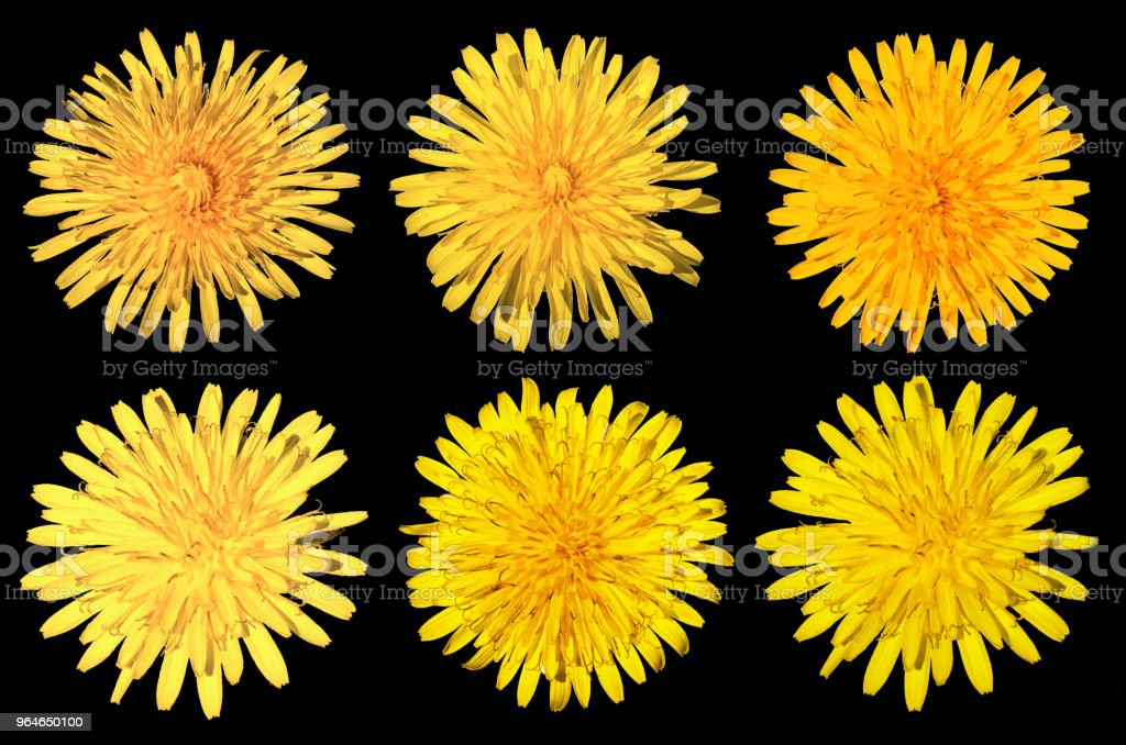 set of six dandelions isolated on black background royalty-free stock photo